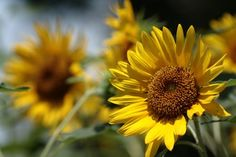 flor do sol (3)
