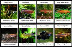 Learn all about killifish, including how to breed them, and whether or not they can be kept in a community aquarium. Ocean Aquarium, Tropical Fish Aquarium, Nano Aquarium, Aquarium Design, Planted Aquarium, Tropical Freshwater Fish, Freshwater Aquarium Fish, Aquariums, Tetra Fish