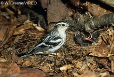 Black-and-white Warbler           (Mniotilta varia) Ground nesting birds are especially vulnerable to depredations of cats.