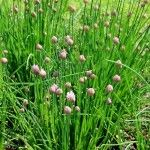 "If there were an award for ""easiest herb to grow"", growing chives would win that award. Learning how to grow chives is so easy that even a child can do it. Get growing tips for chives in this article. Chives Plant, Garlic Chives, Wild Garlic, Grow Chives, Grow Garlic, Growing Onions, Growing Herbs, Planting Pumpkins, Planting Seeds"