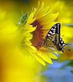 Beautiful shot of a swallowtail sipping nectar from a sunflower