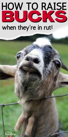 For the most part raising goats is raising goats. Whether you raise dairy goats, meat goats, wethers, does, or bucks. But there are some things you should know about raising goat bucks and how their care is a little different. Mini Goats, Baby Goats, Goat Care, Nigerian Dwarf Goats, Farming Ideas, Raising Goats, Work With Animals, Backyard Farming, Hobby Farms
