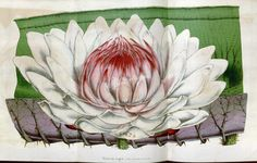 Waterlily, 2   ...