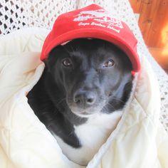 Chi Formosan Mountain Dog | Pawshake Etobicoke