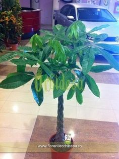 Pachira, arborele norocos - 2m inaltime Plant Leaves, Plant