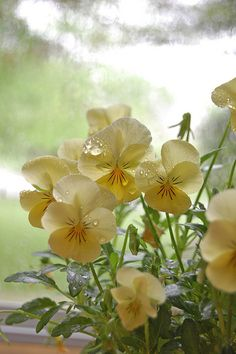 pansies in the rain