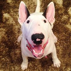 Uplifting So You Want A American Pit Bull Terrier Ideas. Fabulous So You Want A American Pit Bull Terrier Ideas. White Bull Terrier, Mini Bull Terriers, Miniature Bull Terrier, English Bull Terriers, Bull Terrier Dog, Terrier Breeds, Terrier Puppies, Terrier Mix, Baby Dogs