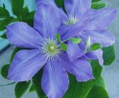 Blue Clematis #Clematis