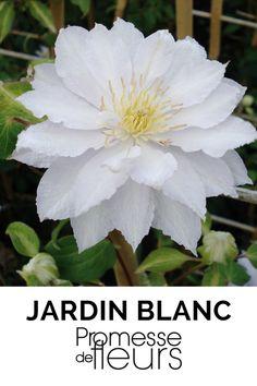 Une superbe clématite blanche, vigoureuse et florifère, à fleurs semi-doubles. En fleur de juillet à septembre ! #jardin blanc #clematite #grimpante