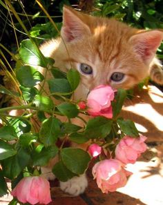 Cute kitten smells roses
