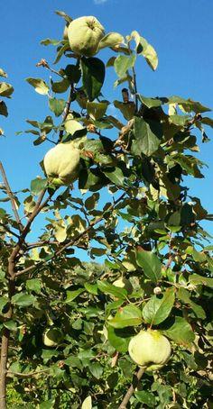 July 20, 2014. Extremadura.  Spain. Quinces growing fast. Los membrillos están ya creciditos.
