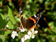 butterfly, orange, black, white flowers