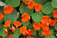 Fleur capucine de la box florale de Mars  http://www.cultiversonjardin.fr/box/37/Box-Florale-de-Mars
