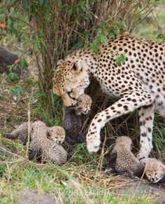 Everyone needs some kitty in their life — cheetahcamp:   Cheetah mother with her...