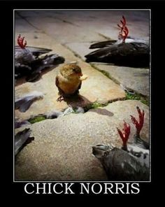 Chick Norris: Chuck Norris extends beyond humans :D Clean Funny Pictures, Funny Images, Funny Photos, Funny Birds, Funny Animals, Chuck Norris Memes, Garden Bird Feeders, Demotivational Posters, Just For Laughs