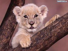 Lwiątko gałąź