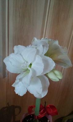 Amarylis biały.
