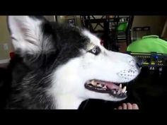 Funny Whatsapp Video clips - Best Funny Videos Collection 2016 Best Funny Videos, Viral Videos, Funny Whatsapp Videos, Video Clip, Latest Video, Dogs, Youtube, Collection, Pet Dogs