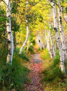 Birch trees (Acadia National Park, Maine, USA) by Ed Heaton