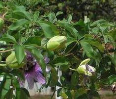 Aprenda a plantar e cultivar uma fruta tropical saborosa: o maracujá. Veja qual é o período ideal de plantio e como fazer as mudas.