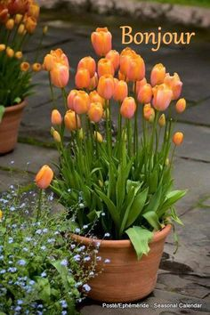 Growing bulbs in pots - Plant a lot of bulbs at different, overlapping levels. You can easily put bulbs, sometimes even more, into a pot that is 1420 inches across. Use bulbs of many different sizes for an interesting display and longer seasonal appeal. Garden Bulbs, Planting Bulbs, Garden Pots, Planting Flowers, Container Plants, Container Gardening, Gardening Tips, Organic Gardening, Gardening Services