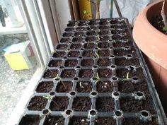 Απο το σπορο εως την ντοματα - from seed to tomato - YouTube Gardening, Youtube, Plants, Lawn And Garden, Plant, Youtubers, Youtube Movies, Planets, Horticulture