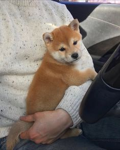 Shiba Puppy, Akita Dog, Shiba Inu, Funny Dogs, Funny Animals, Cute Animals, Cute Puppies, Cute Dogs, Jack Russell Terrier