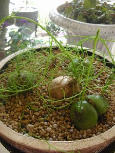 Bowiea Volubilis.  Bowiea is a bulbous genus of perennial, succulent plants which thrive in dry and desert regions of eastern and southern Africa.