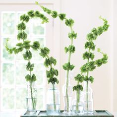 """Emphasize the shapeliness and delicate coloring of """"Bells of Ireland"""" by adding single stems to empty olive oil bottles, then group them on a rustic, green-painted window shutter."""