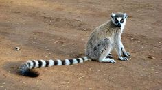 Lemur Facts! - The Lemurs are found only in Madagascar and Comoro Island. They are rather odd animals because of their large, reflective eyes, long tails, and hands that are almost like a human's.