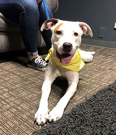 COLUMBUS, OH - TORI is a YOUNG ADULT FEMALE AMERICAN PIT BULL TERRIER for adoption who needs a loving home.