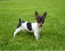 toy fox terrier puppies -