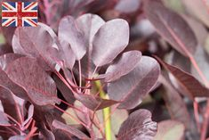 British Cotinus Coggygria, Autumn Foliage at New Covent Garden Flower Market - October 2015 New Covent Garden Market, October Flowers, British Flowers, Autumn Garden, Flower Market, Garden Landscaping, Landscaping Ideas, White Flowers, Greenery