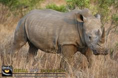 The rhinoceroses of the world developed from a single ancestor in Eurasia and later divided into Asian and African forms, with the white and black rhinoceroses in Africa.Read more? Big 5, Rhinoceros, Wildlife, Elephant, African, Tv, Animals, Black, Rhinos