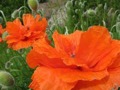 Poppies by Liselotte, via Flickr