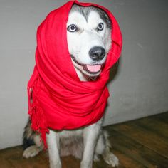 Shade husky in a scarf)))