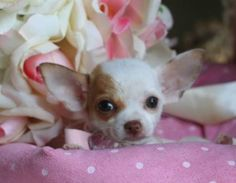 Photos for Cute Teacup Male Chihuahua Puppy the books I read said the females are more feisty and males more mellow- very true for our 2!! Our female is much more playful but she will nip if mad enough- like if you do something she hates- comb her ears...the male would never ever bite! He's lazy though- not playful- would just like to snuggle all day! Loves walks and kids, though- nice nice boy.