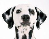 Dalmation . I had a dog like this who was very near and dear to my heart. He passed from Congestive Heart Failure. Scooby, you are loved and missed.