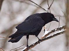 Crow in Snow   Barlesville, OK