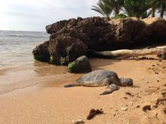 """Discovered by Jessica White, """"There's nothing like seeing wildlife in their natural habitat! The turtles are so graceful and beautiful!"""" at Haleiwa Ali'i Beach Park, Haleiwa, Oahu, Hawaii. Miss Hawaii, Oahu Hawaii, Hawaii Vacation, Hawaii Travel, Wedding Venues Beach, Hawaii Wedding, Wedding Locations, Oahu Beaches, Famous Places In France"""