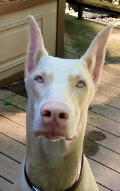White Doberman