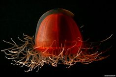 Scientists have published descriptions of a range of jelly-like animals encountered during submersible dives into the deep oceans of the Arctic. This deep red-coloured Crossota norvegica was observed as deep as 2,600m.