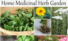 Forget the exotic and begin with these 10 plants for the home medicinal herb garden for homegrown teas, tinctures, salves, and more easily made at home.