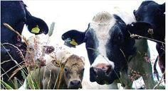 Move Over #Sharks, #Cows Are Deadlier than You. Here's How: http://io9.com/cows-are-deadlier-than-you-ever-knew-1690950434