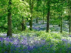 Spring Bluebells a perennial feature of Forest of Dean and Wye Valley ... - Bing Images