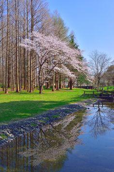 Cherry tree reflection by Yuriko Yorbalinda (Japan)