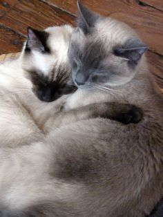 Two siamese cats. love that!