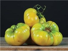 Pilcer Vesy Tomato 3