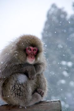 Japanese macaque or Snow monkey (Macaca fuscata)