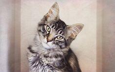 Herunterladen hintergrundbild maine coon, kitten, kleine, graue katze, niedliche tiere, portrait, 4k, katzen